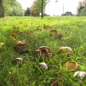 autumn conkers sept