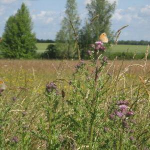 thistles and butterflies June 2011
